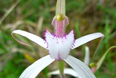 Dwarf Spider Orchid