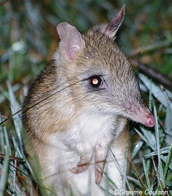 Eastern Barred Bandicoot - now considered extinct in the wild