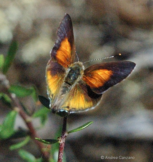 Eltham Copper Butterfly