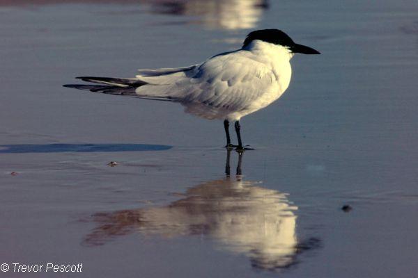 Gull-billed Tern Image: Trevor Pescott