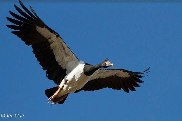 Magpie Goose Image: Jen Carr