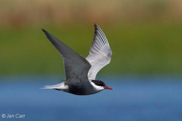 Whiskered Tern Image: Jen Carr