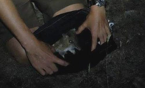 Eastern Barred Bandicoot monitoring Source: Phillip Island Nature Parks