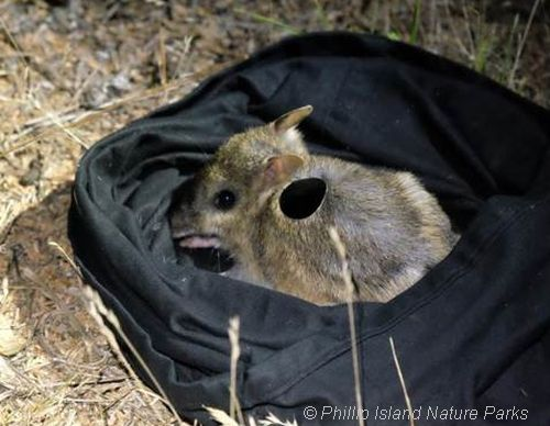 Eastern Barred Bandicoot monitoring using reflective tag