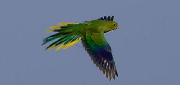 Orange-bellied Parrot Brian Aherne