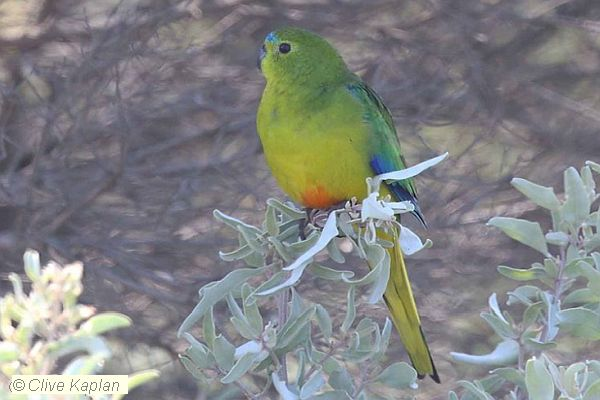 Orange-bellied Parrot Clive Kaplan 2019