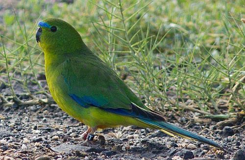 Orange-bellied Parrot at WTP February 2018