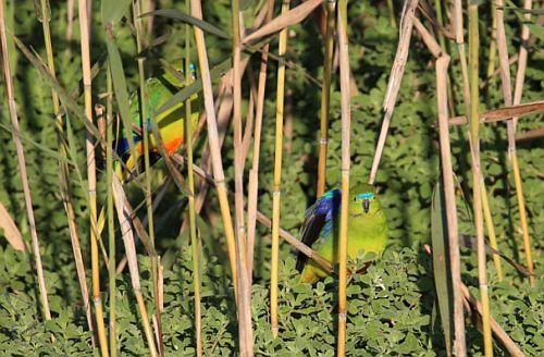Orange-bellied Parrots released at Werribee Paul Rushworth, Zoos Victoria