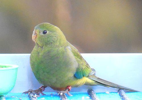 Orange-bellied Parrot at Melaleuca prior to 2017 migration
