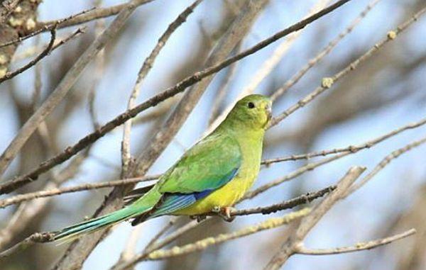 Orange-bellied Parrot update November 2019