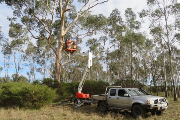 Red-tail Black-Cockatoo nest box installation- Image Birdllfe