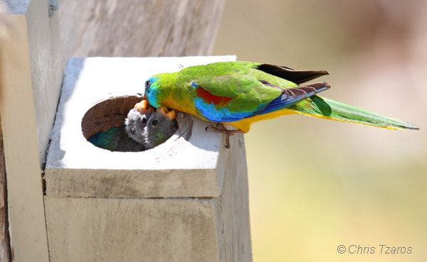 Turquoise Parrot feeding chicks. Image: Chris Tazros
