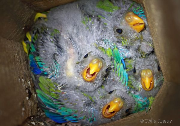 Turquoise Parrot chicks in artificial nest box. Image Chris Tazros