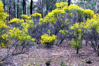 whirrakee wattle project
