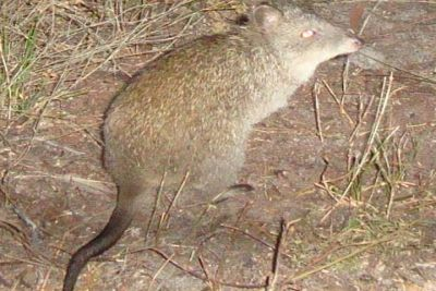 long-nosed potoroo Source:Glenelg Ark
