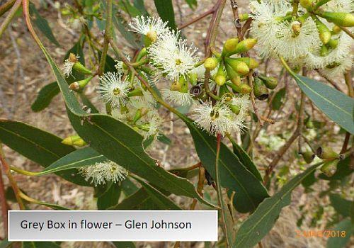 grey box in flower - Regent Honeyeater project