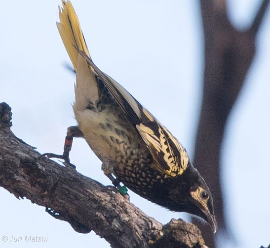 regent honeyeater 1 for update 8