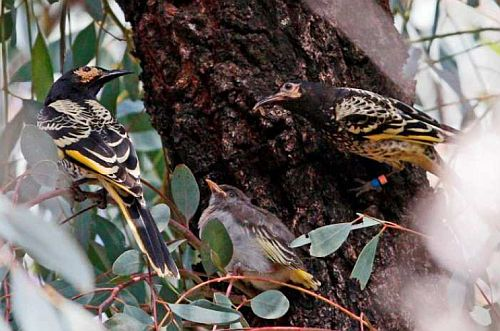 Regent Honeyeaters with fledgling Nov. 2017 Image: Neville Bartlett