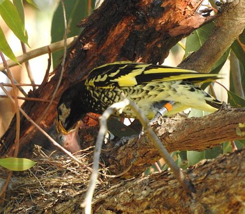 October 26 2017 Regent Honeyeater feeding chick at nest - Glen Johnson