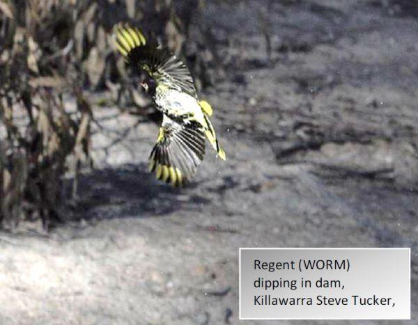 Regent Honeyeater flying over dam Image: Steve Tucker