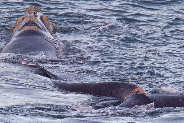 Southern Right Whale named Tangles. Image Bob McPherson.