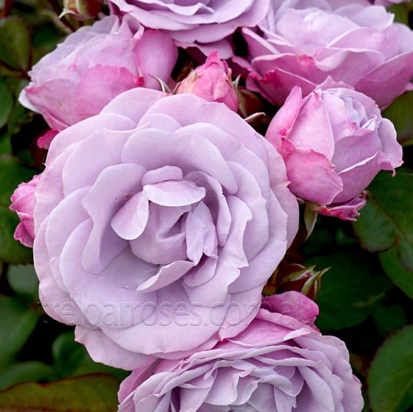 Treloar Roses rose named Tangles