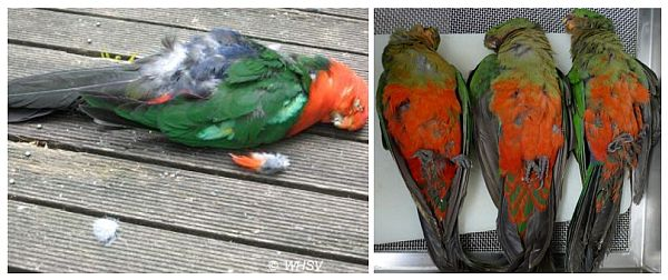 king parrots beak and feather disease WHV