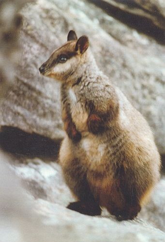 Brush-tailed Rock-wallaby Photo taken by Raz Martin in the Grampians 1999