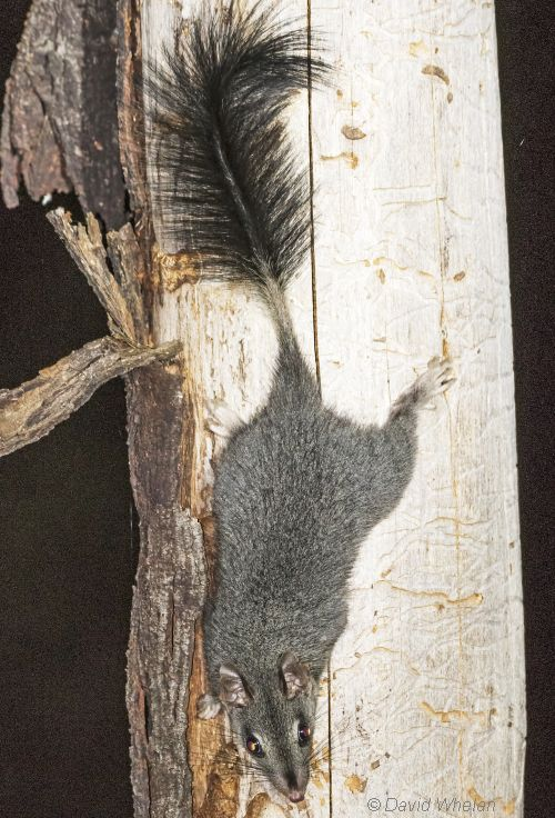 Brush-tailed Phascogale Image: David Whelan