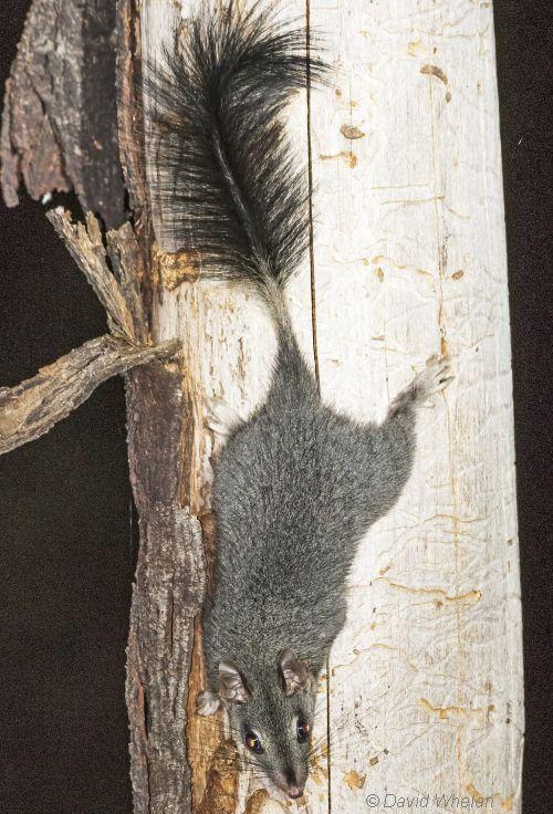 Brush-tailed Phascogale Image: David Whelan