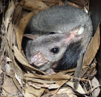 Brush-tailed Phascogale in nest box. Source: Eileen Collins