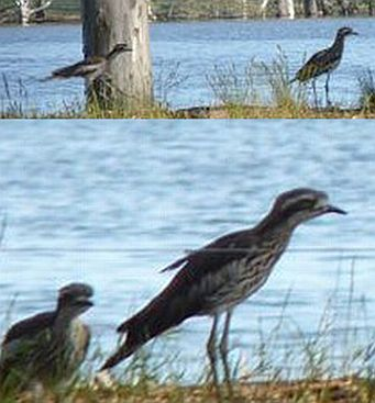 Bush Stone-curlews in the wild at West Wimmera
