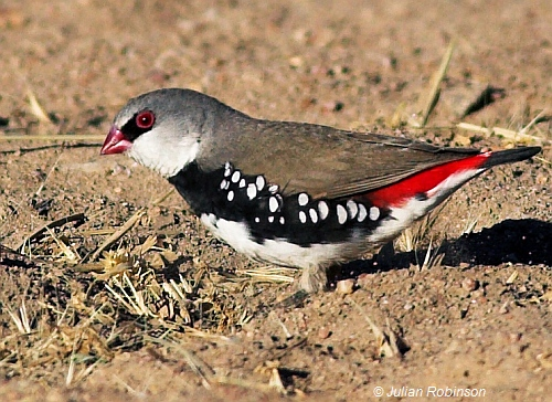 Diamond Firetail feeding on grass seeds. Image: Julian Robinson.