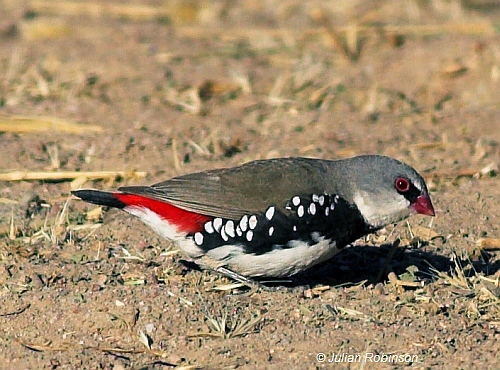 Diamond Firetail - Image provided by Julian Robinson