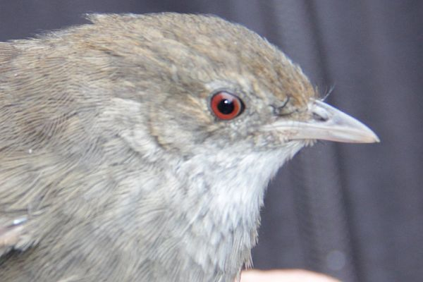Eastern Bristlebird close Image Tony Mitchell