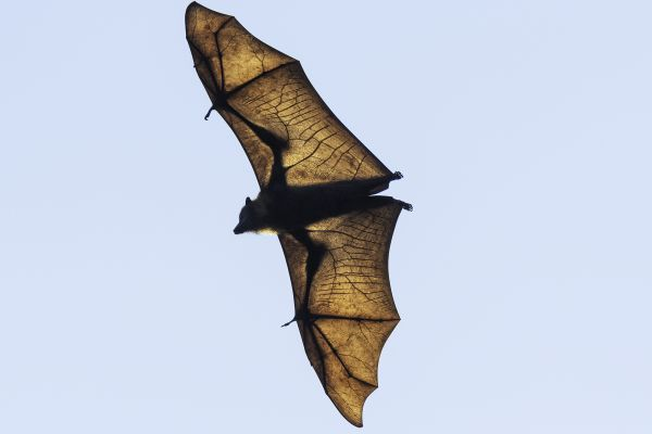 Grey-headed Flying-fox in flight Image: David Whelan