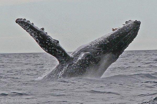 Humpback Whale breaching Bob McPherson