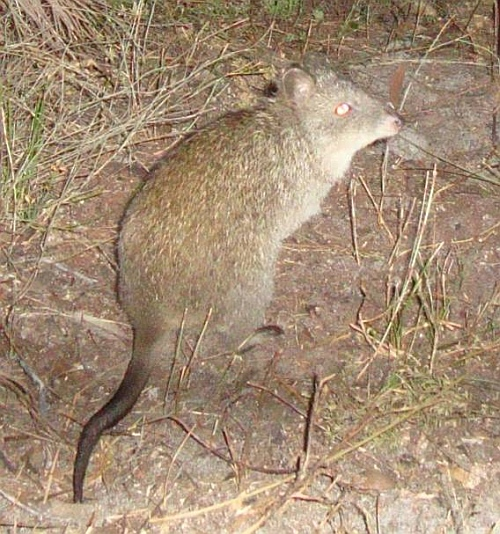 Long-nosed Potoroo, image taken with remote camera. Source: Glenelg Ark