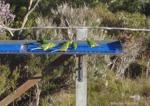Juvenile Orange-bellied Parrots on feeding table at�Melaleuca�in Tasmania