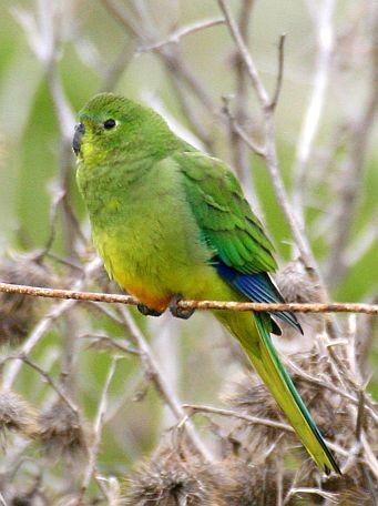 Orange-bellied Parrot Photo: Bob McPherson