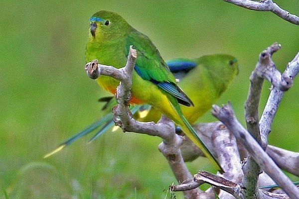 Orange-bellied Parrot 600 400 px Image: Bob McPherson