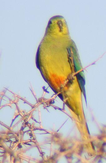 Orange-bellied Parrot Image Andrew Pritchard