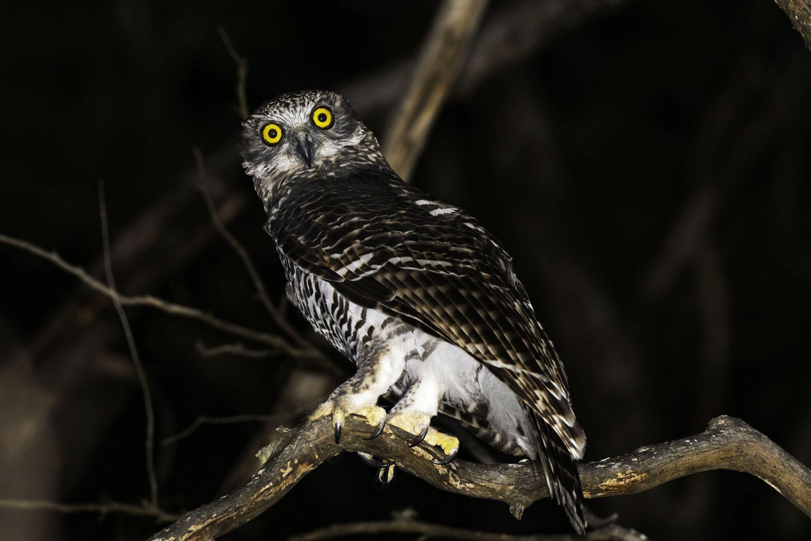 Powerful Owl David Whelan