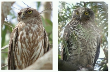 Barking Owl (left), Powerful Owl (right).