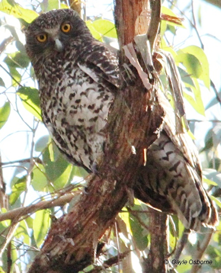 Powerful Owl in Wombat Forest. Image Gayle Osborne