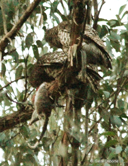 Powerful Owls feeding on Ringtail Possum in Wombat State Forest. Image: Gayle Osborne