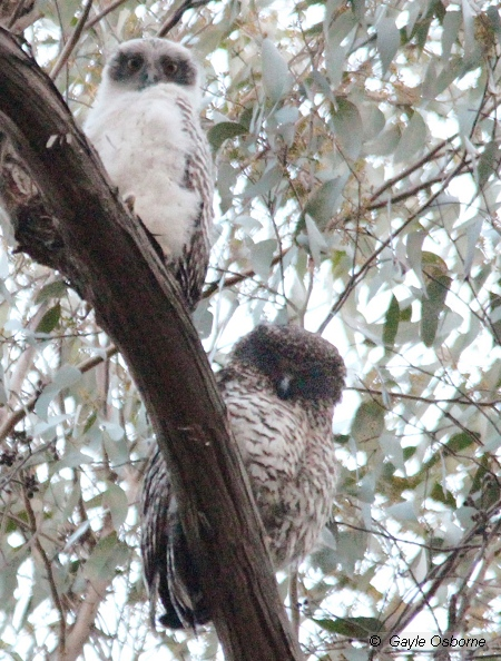 Powerful Owl chick (above) with adult (below). Image: Gayle Osborne