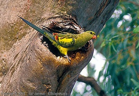 Regent Parrot image used with permission from Graeme Capman