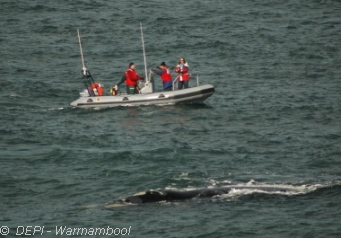 Image: Southern Right Whale genetic research