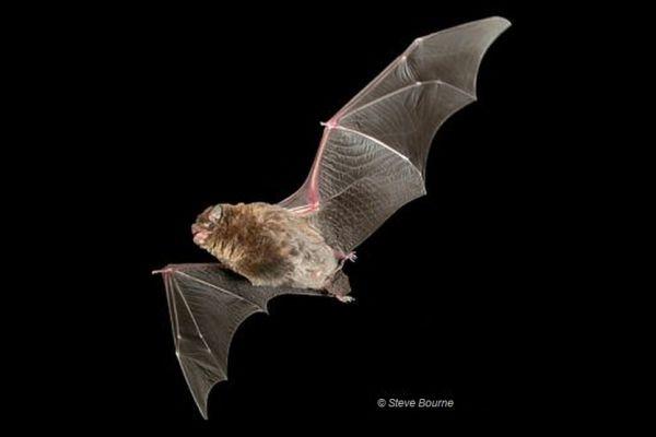 Southern Bent-wing Bat Image Steve Bourne